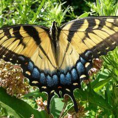 Yellow Swallowtail Butterfly | Yellow Swallowtail Butterfly -