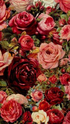 Rosa pomposa