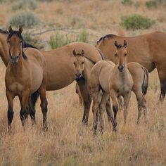 Wild horses --road from Diamond, OR you find the Kiger mustangs--and their babies.  The Steens Mountain herd has characteristics of the original Spanish mustang reintroduced to North America in the 1600's. Small boned with classic coloration and markings-a truly beautiful horse. They are in the upcoming book, WILD AT HEART. @theimagereview @natgeo @wildhorsephotos @natgeocreative #wildhorses #mustangs #wild #foals #horses #wildlife #cute #nature