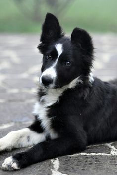 Johnnie's border collie. Lola. he is training her to herd.