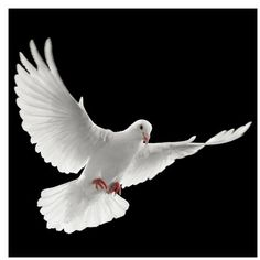 Dove of Peace Semi-Gloss Wallpaper Roll East Urban Home Size: x Material quality: Premium Blur Photo Background, New Background Images, Dove Pictures, Apple Watch Wallpaper, Dove Bird, Leather Wall, Peace Dove, White Doves, Urban