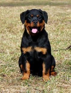 "Check out our internet site for more info on ""rottweiler puppies"". It is actually an exceptional place to find out more. Dog Training Methods, Basic Dog Training, Dog Training Techniques, Training Dogs, Rottweiler Love, Rottweiler Puppies, Beagle, Pit Bull, Labrador Golden"