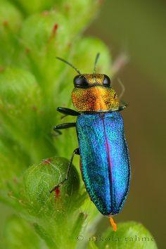 ˚Glistening Jewel Beetle - Anthaxia nitidula - Coleoptera, Buprestidae