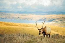 Yaban hayatı fotoğrafçılığı elk hayvanlar poster Su Geçirmez Tuval Kumaş Baskı Duvar Sanatı Dekor(China (Mainland))