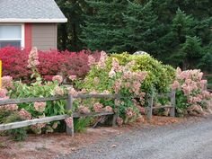 panicle hydrangeas and split rail fence