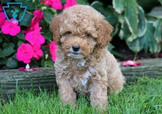 Keystone Puppies has a puppy finder feature setting you up to find and buy a dog perfect for your home. Use our petfinder today! Cute Puppies For Sale, Cute Baby Puppies, Cute Baby Animals, Poodle Puppies For Sale, Black Lab Puppies, Corgi Puppies, Dog Breed Info, Puppy Finder, Dog Grooming Business