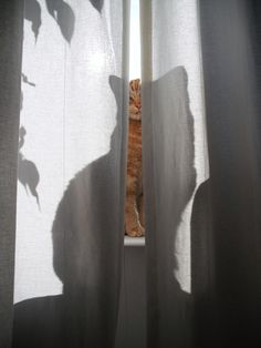 Ginger cat behind curtains