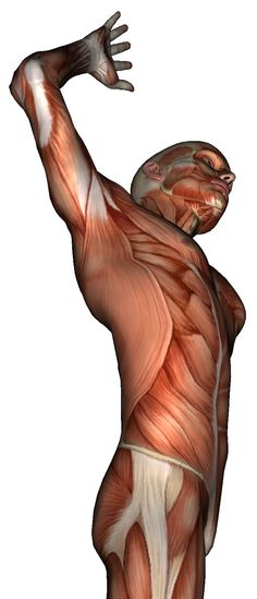 Muscles: Side - Rotated Abs