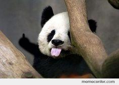 panda bear - sticking out tongue and general bad attitude Panda Bebe, Cute Panda, Cute Baby Animals, Animals And Pets, Funny Animals, Image Panda, Funny Facial Expressions, Worlds Cutest Animals, Baby Panda Bears
