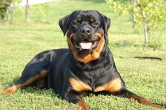 This dog makes me miss my Rottweiler, Pepito. He was such a good and sweet dog :(