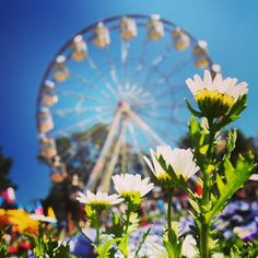 Canberra's much-loved celebration of spring is back and we love this photo of the Floriade Ferris wheel and flowers by Instagrammer llamatr0n! Thanks for sharing and tagging #visitcanberra