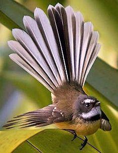 Exotic birds : New Zealand fantail (Rhipidura fuliginosa). Fantails are small . Different Birds, Kinds Of Birds, All Birds, Little Birds, Love Birds, Pretty Birds, Beautiful Birds, Animals Beautiful, Exotic Birds