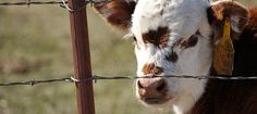 Cattle: Painful procedures