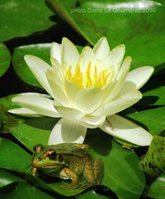 Water lilly & frog Nymphaea Ubergold we have it at www.vnwg.com