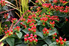 Hypericum 'Miracle Attraction' - Common name: St. John's Wort. Bright yellow flowers in summer followed by scarlet berries in Autumn. Compact habit so ideal where space is limited. 1m x 1m, evergreen, sun/semi shade. www.thepavilion.ie: