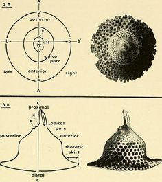 """Image from page 428 of """"Bulletins of American paleontology"""" (1895)"""