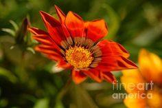 'Sunflower' Fine Art photography by Rosete Wolfe Lens. What beautiful coloring on this art work.