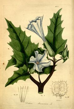 Datura Stramonium. American medical botany v.1 Boston:Cummings and Hilliard,1817-1820. Biodiversitylibrary. Biodivlibrary. BHL. Biodiversity Heritage Library