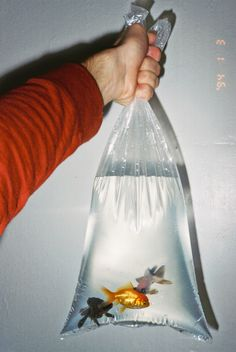 Gold Fish. Don't know how many of these were sent via the toilet to fishie heaven.