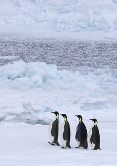 Emperor Penguins walk 75 miles (from open sea to breeding grounds), across frozen ice to find a mate and breed. They live on the ice in Antarctica.