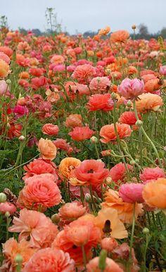Ranunculus via designlovefest: Image credit unknown.  #Flowers