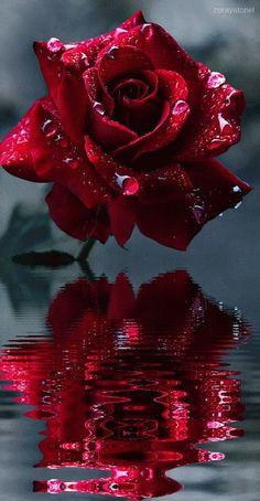 Reflections of a rose . Reflections of a rose . Reflections of a rose . Reflections of a rose Flowers Gif, Beautiful Rose Flowers, Beautiful Flowers Wallpapers, Beautiful Nature Wallpaper, Pretty Wallpapers, Amazing Flowers, Trailing Flowers, Cosmos Flowers, Butterfly Flowers