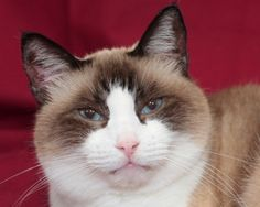 Snowshoe Siamese-Our Lady Bella!  What a beauty
