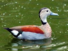 Ringed Teal....one of my favorites