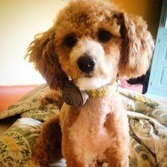 Sweet Maltipoo Pup!