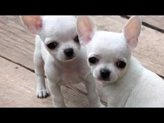 Effective Potty Training Chihuahua Consistency Is Key Ideas. Brilliant Potty Training Chihuahua Consistency Is Key Ideas. Merle Chihuahua, White Chihuahua, Baby Chihuahua, Cute Puppies, Cute Dogs, Dogs And Puppies, Doggies, Cute Animal Pictures, Dog Pictures
