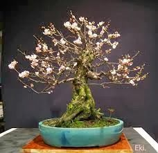 Cherry blossom Bonsai tree, these blossom around March. Stunning isn't it? Moss Garden, Bonsai Garden, Bonsai Trees, Japanese Culture, Japanese Art, Cherry Blossom Bonsai Tree, Miniature Trees, Prunus, Big Tree