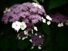 <3 a hydrangea as it's just getting started...