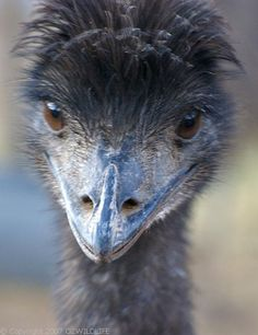 Emu close-up. Emu (Dromaius novaehollandiae) Found only in Australia. It lives throughout most of the continent, from coastal regions to high in the Snowy Mountains to the dry plains at Australia's centre. Emu War, What Is A Bird, Aboriginal Culture, Ostriches, Dusters, Australian Animals, Snowy Mountains, All Birds, Animals