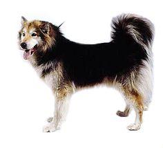 Greenland Dog Spitz Type Dogs, Greenland Dog, Mammals, Dog Breeds, Husky, Corgi, Weird, Amazing, Places