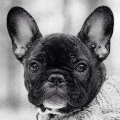 Basso, a French Bulldog Puppy ❤