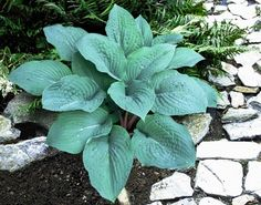 Medium Hosta Cultivar  Medium sized mound of blue foliage with thick leaves that are puckered.  The petioles are speckled with mauve which creates a nice
