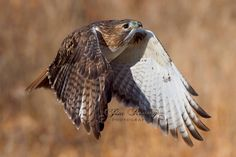 """Red-tailed Hawk - """"You keep us always looking up"""" Photo by Jim Ridley Photography, Brighton MI Red Tailed Hawk, Birds Of Prey, Raptors, Hawks, Natural Wonders, Brighton, Photography, Animals, Photograph"""