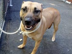 GONE - 03/25/15 Manhattan Center   My name is LASSIE. My Animal ID # is A1030879. I am a female brown and white american staff mix. The shelter thinks I am about 4 YEARS old.  I came in the shelter as a OWNER SUR on 03/21/2015 from NY 10453, owner surrender reason stated was MOVE2PRIVA.  Main thread: https://www.facebook.com/photo.php?fbid=982808551732024