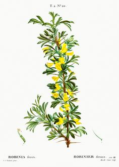 Robinia caragana from Traité des Arbres et Arbustes que l'on cultive en France en pleine terre (1801–1819) by Pierre-Joseph Redouté. Original from the New York Public Library. Digitally enhanced by rawpixel. | free image by rawpixel.com / New York Public Library (Source) Yucca Gloriosa, Judas Tree, Vintage Art Prints, Tiny Flowers, New York Public Library, Free Illustrations, Botanical Illustration, Botanical Prints, Shrubs