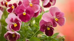 """Violas aren't just purple—their tiny flower petals grow in a variety of colors. """"Violas do well indoors because they don't need intense sunlight and actually like shade,"""" says Pellegrini, who suggests setting them near a window, where they'll get the amount of natural light they need to thrive."""