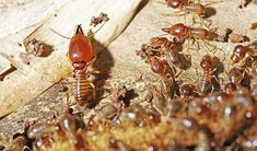 The heat and cold solutions are among the most common termite treatments in Brisbane. In these, extreme heat or extreme cold are used to kill the termites because they cannot tolerate any of these.
