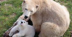 Hope, um filhote de urso polar de quatro meses, brinca com a mãe Flocke no parque de Marineland, em Antibes, no sudeste da França. O filhotes nasceu em 26 de novembro de 2014 no parque