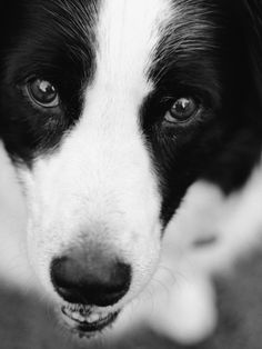 Head of Border Collie Photographic Print by Henry Horenstein at Art.com. big dogs: cute & funny