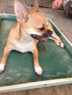 Sorted...got my own paddling pool! #maus #chihuahua