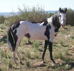 overo horses , filly $2000 NM Prairie Wood Ranch Paint Horses