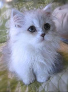 I am dyinggg for a white kitten!