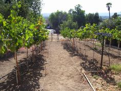 Portion of my backyard vineyard showing Cab on right and Sangiovese on left