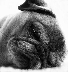 Peaceful pug