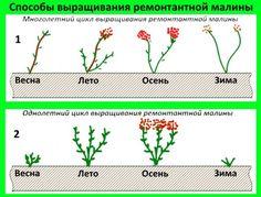 Способы выращивания ремонтантной малины
