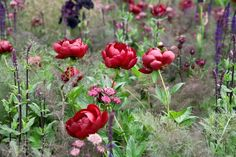 peonies-planted-in-a-border-3